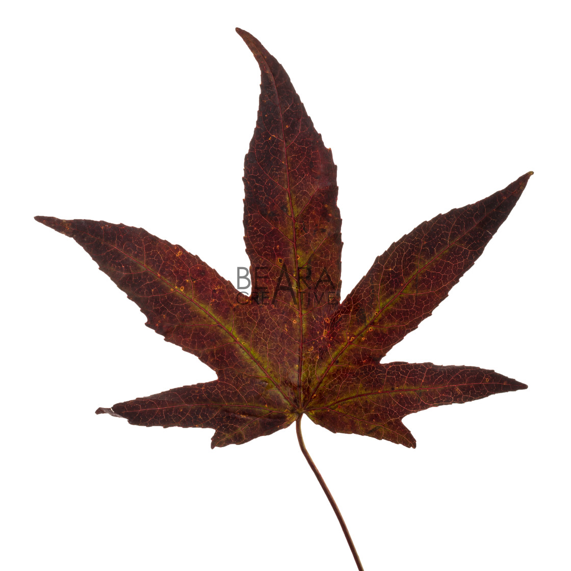 """Yellow brown Japanese maple leaf"" stock image"