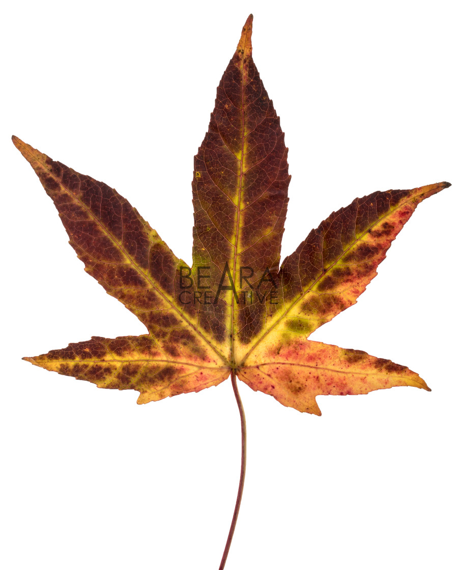 """Brown yellow red Japanese maple leaf"" stock image"