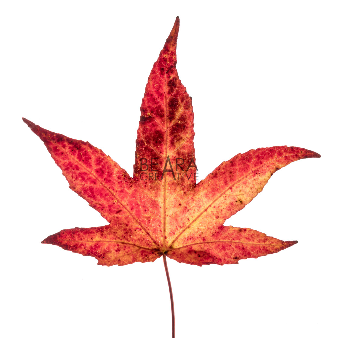 """Red yellow Japanese maple leaf"" stock image"