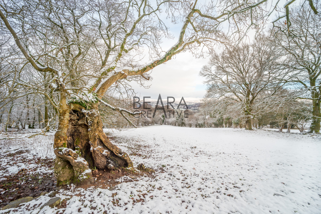 """Hollow tree winter landscape"" stock image"