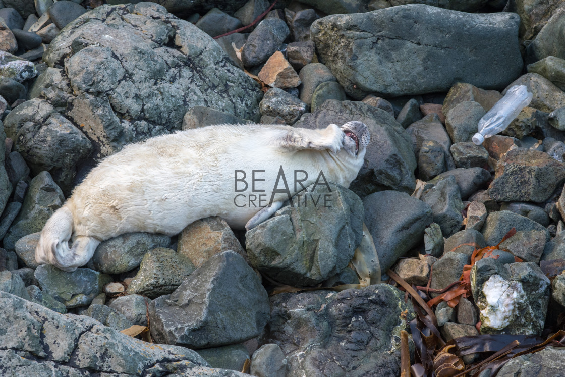 """Seal pup plastic pollution"" stock image"