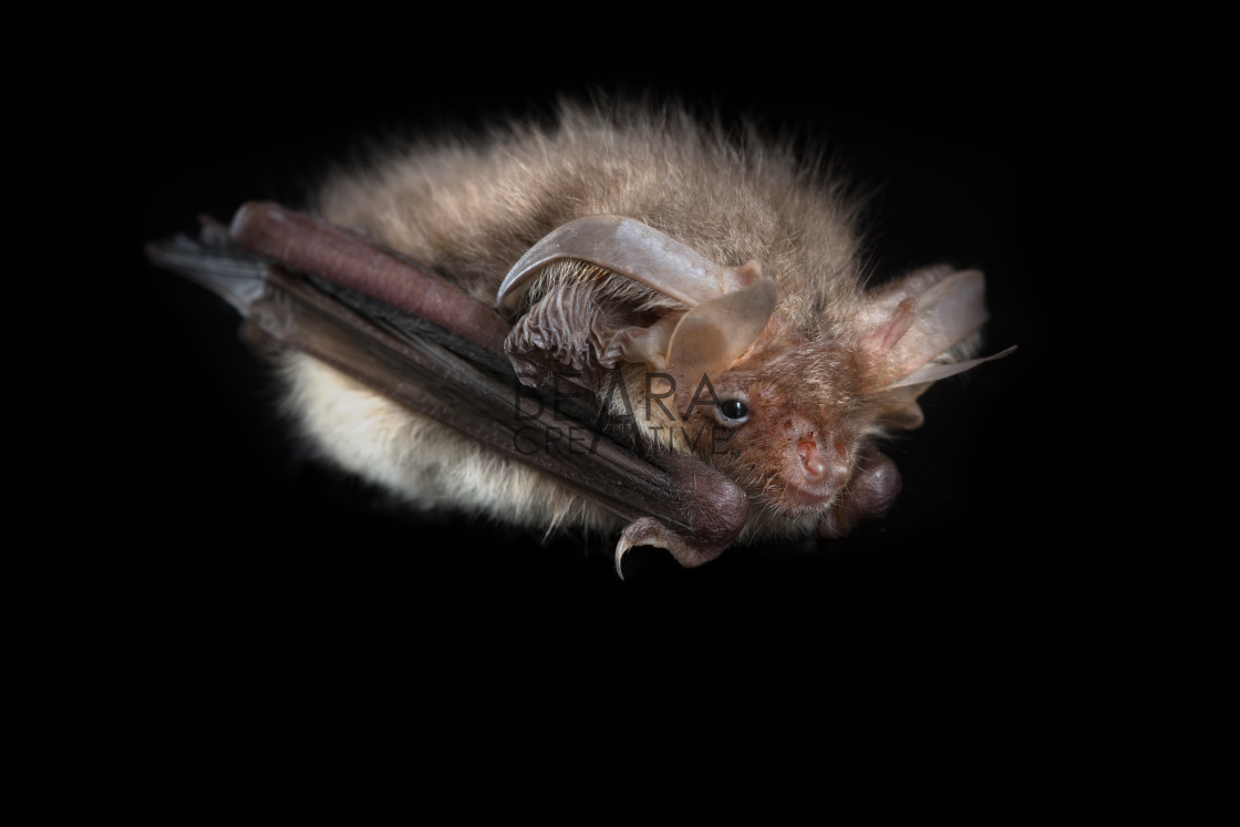 """Brown long-eared bat black background"" stock image"