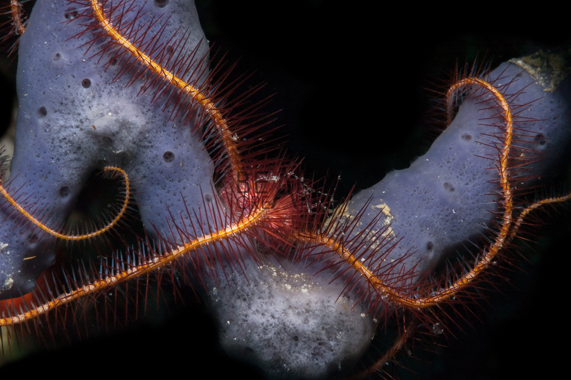 """Brittle star on sponge"" stock image"