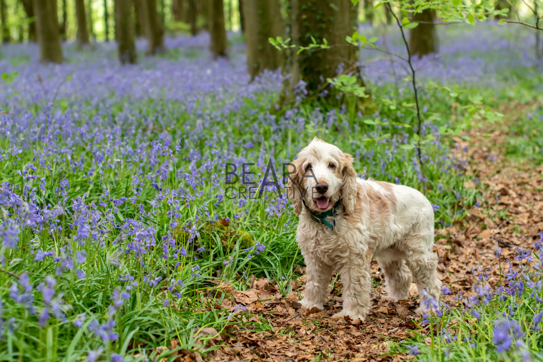 """Cocker spaniel bluebell woods"" stock image"