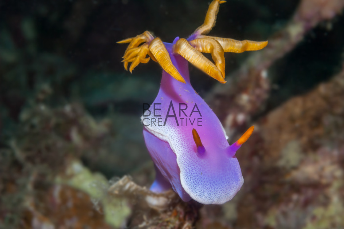 """Danjugan nudibranch Hypselodoris"" stock image"
