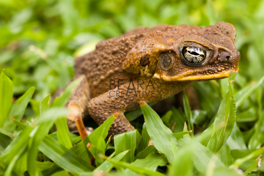 """Cane toad in the grass. Dauin, Philippines"" stock image"