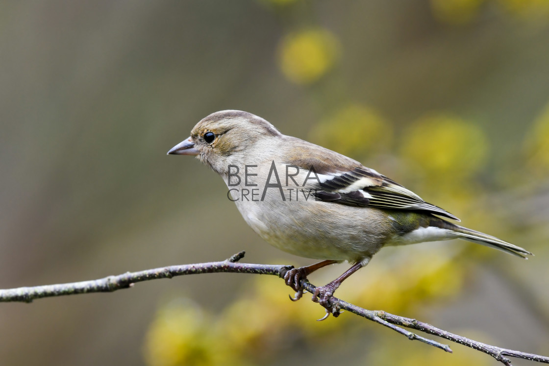 """Female chaffinch yellow flowers"" stock image"