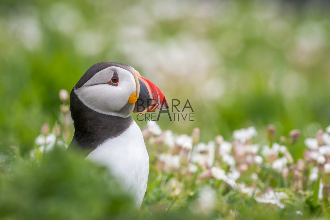 """Puffin portrait amongst sea campion"" stock image"