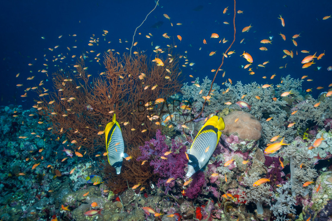 """Pair Lined Butterflyfish Sudan"" stock image"