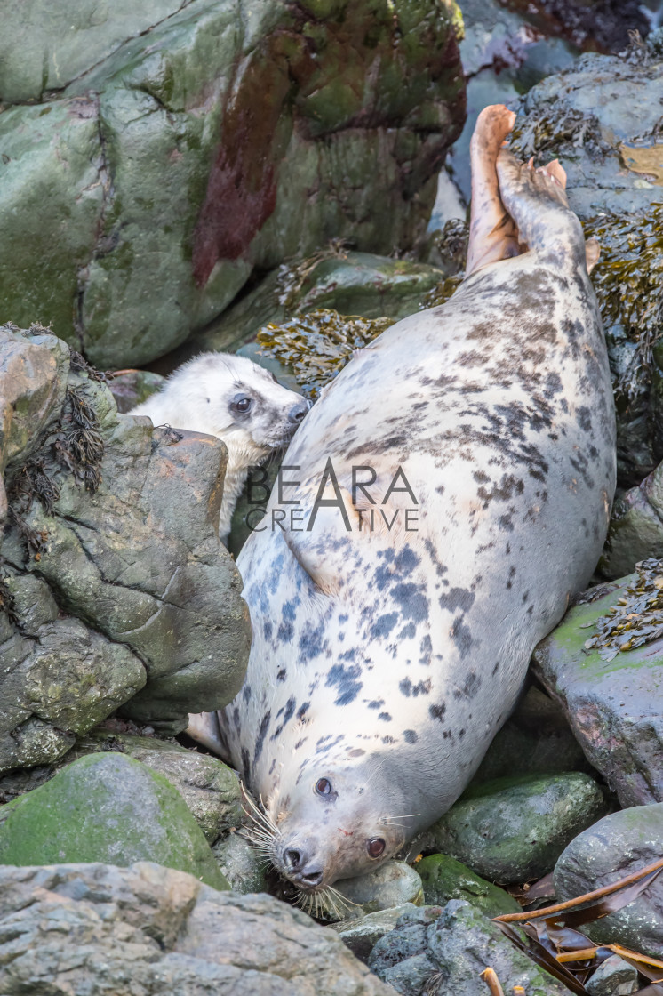 """Atlantic grey seal mother and pup"" stock image"