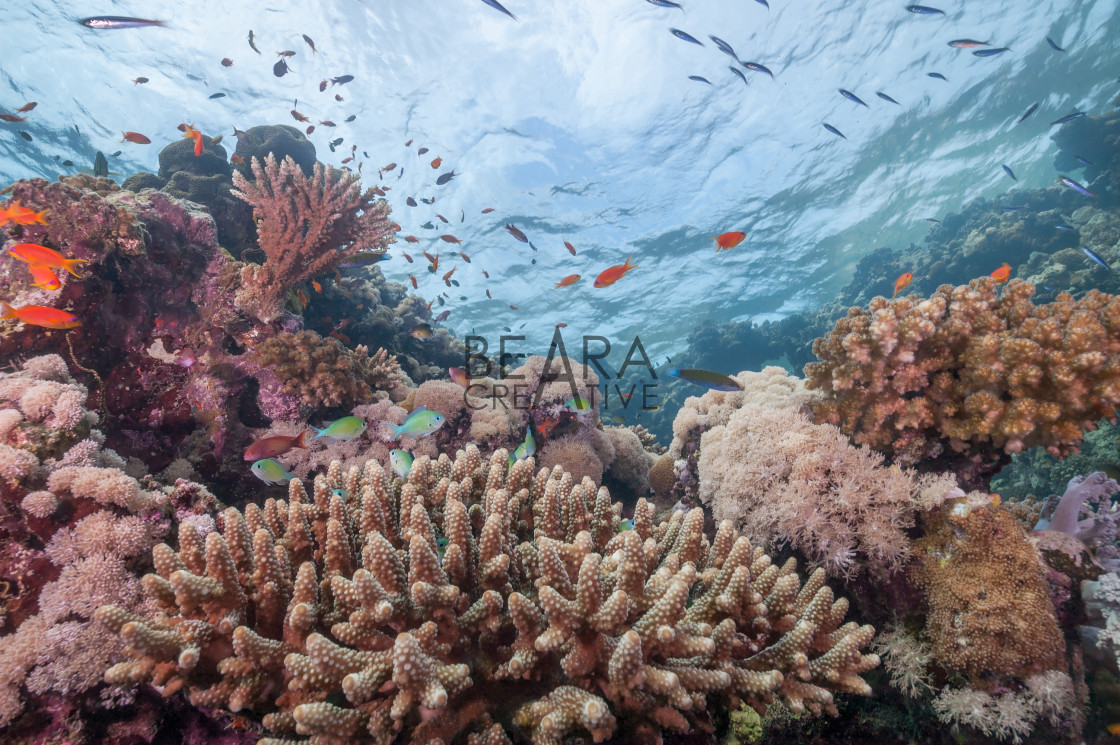 """Sudan coral reef nature"" stock image"
