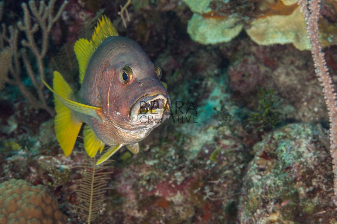 """Schoolmaster snapper mouth open Bahamas"" stock image"