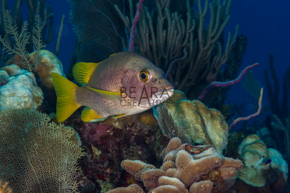 """Schoolmaster snapper reefscape Bahamas"" stock image"