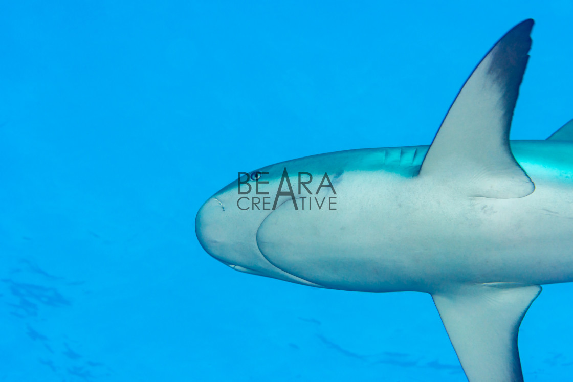"""Underneath Caribbean reef shark"" stock image"