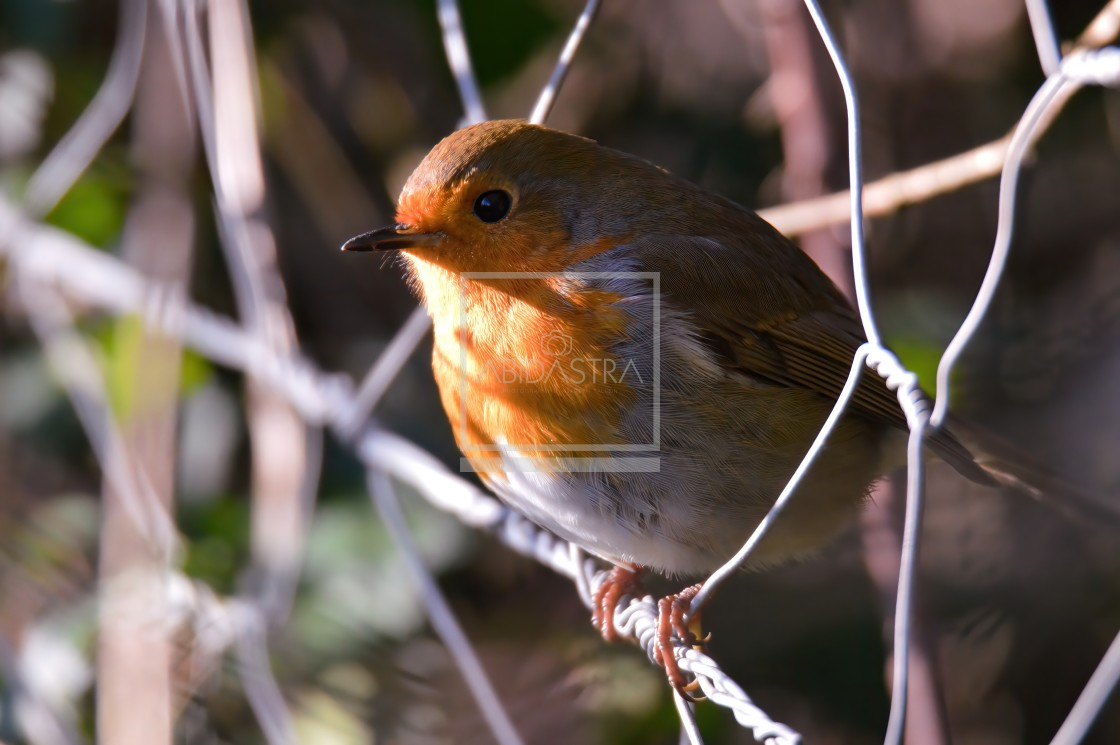 """""""Robin on a wire fence"""" stock image"""