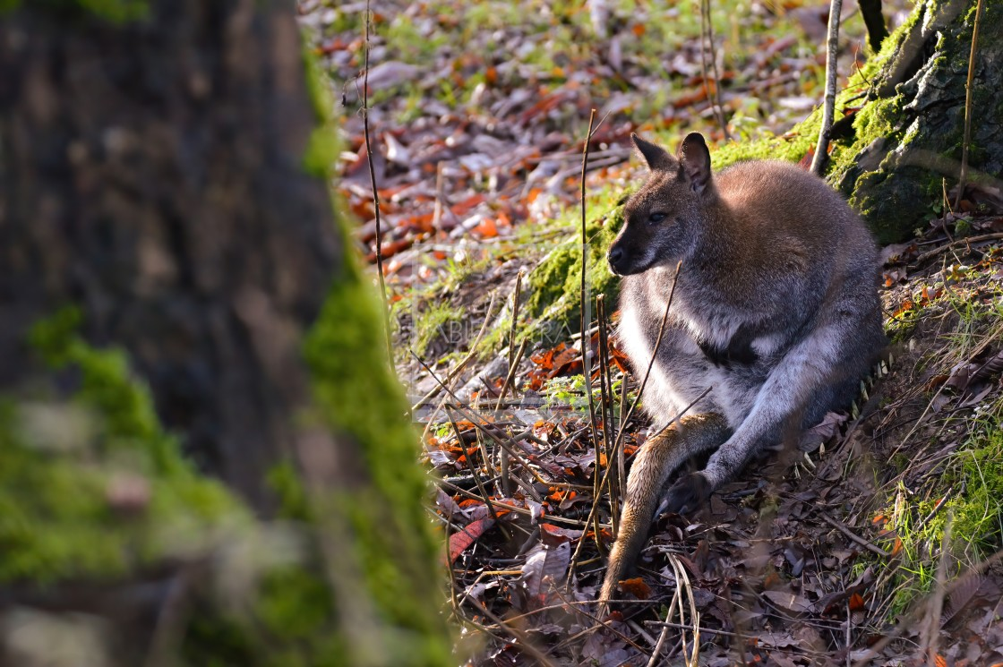 """""""Afternoon sit with a Wallaby"""" stock image"""