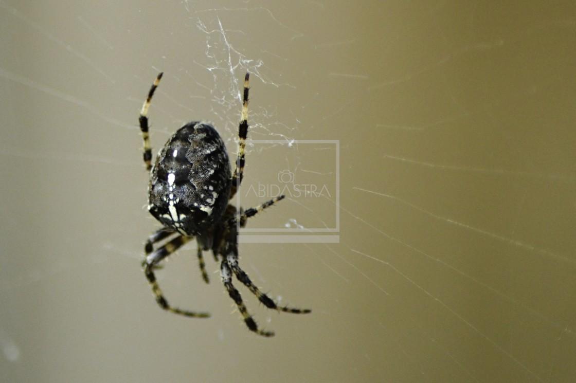 """Garden Cross Spider on web"" stock image"