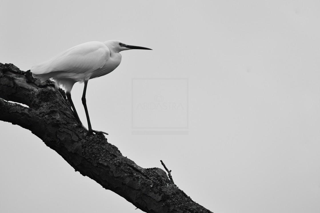"""Egret (Heron) atop a tree"" stock image"