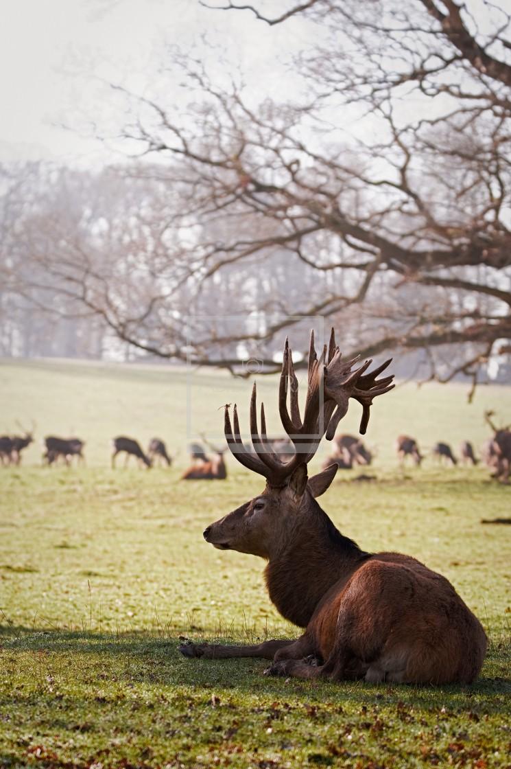 """Red Deer Resting (2)"" stock image"