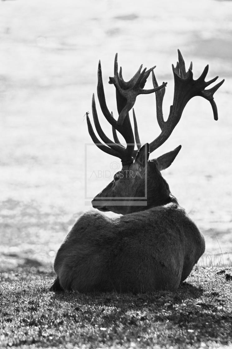 """Resting Red Deer"" stock image"