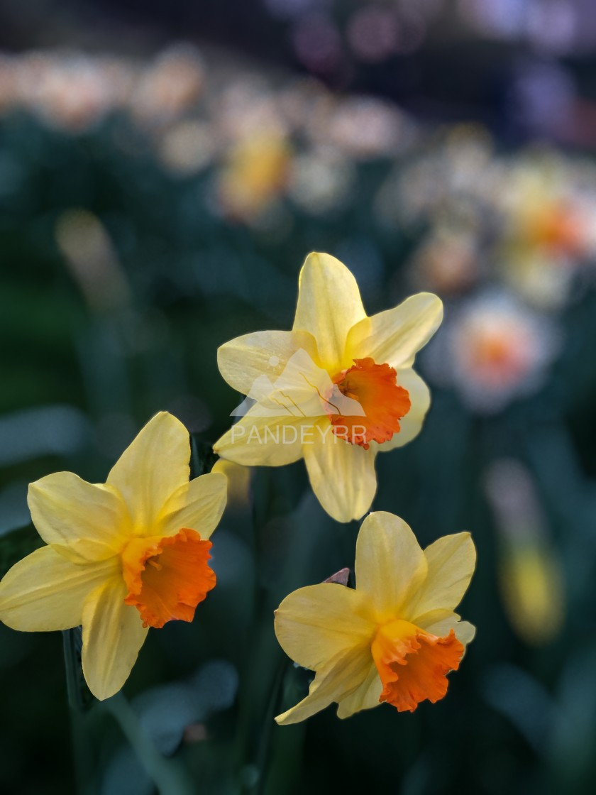 """Spring is here...Daffodils"" stock image"
