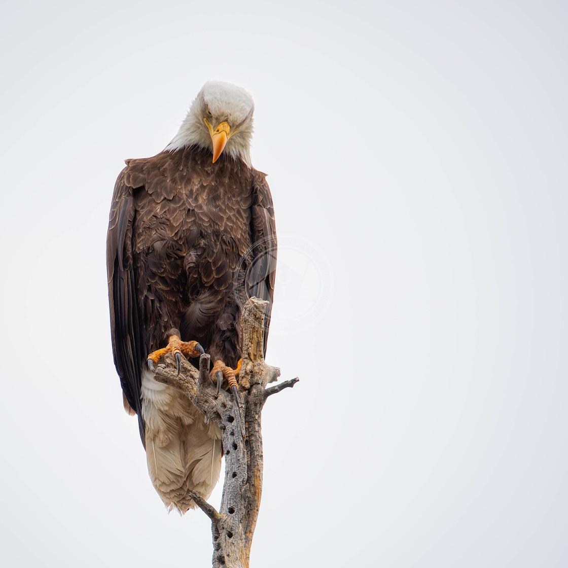 """""""Eagle-Watch-Arizona-White-Mountains"""" stock image"""