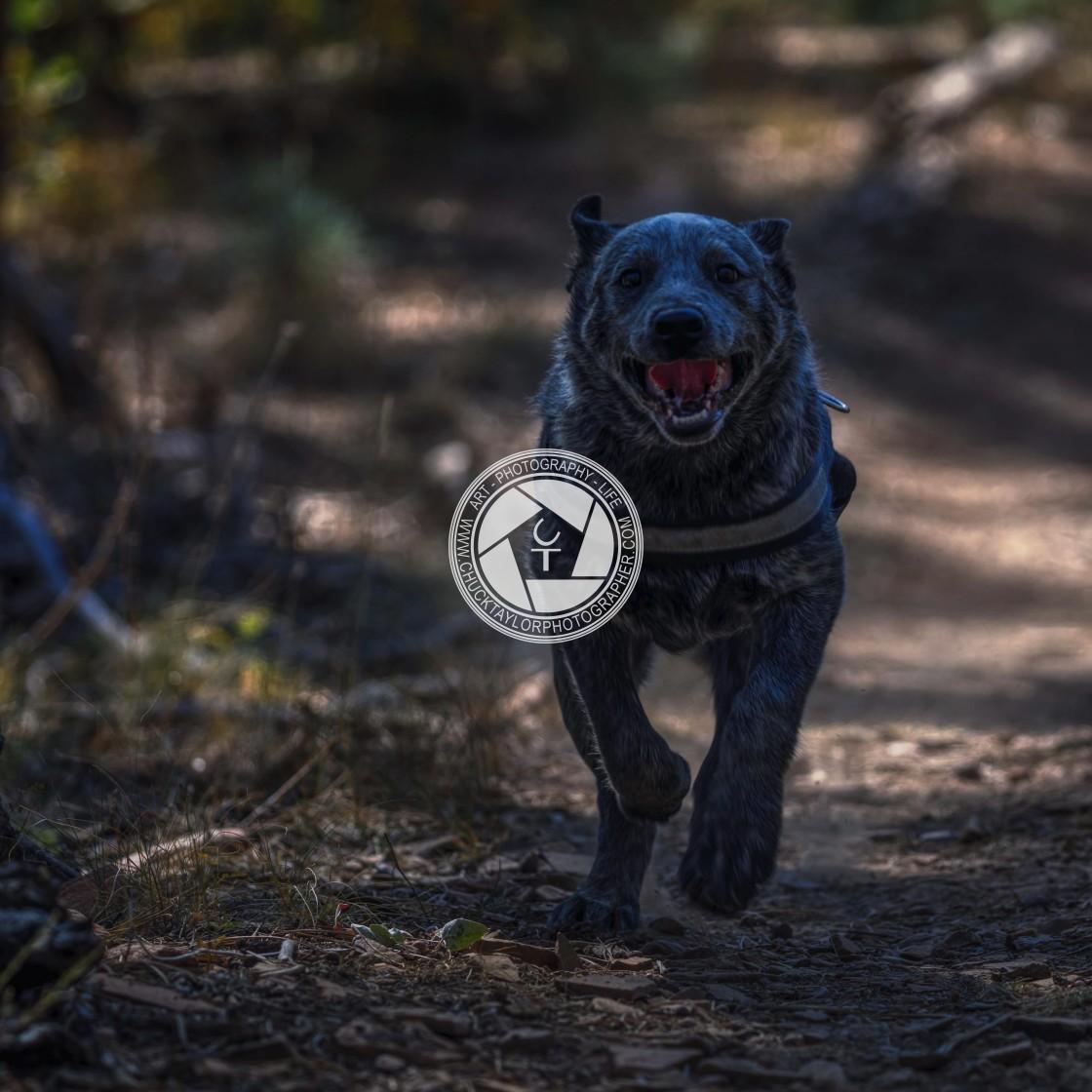 """Dog-running-blue-heeler"" stock image"