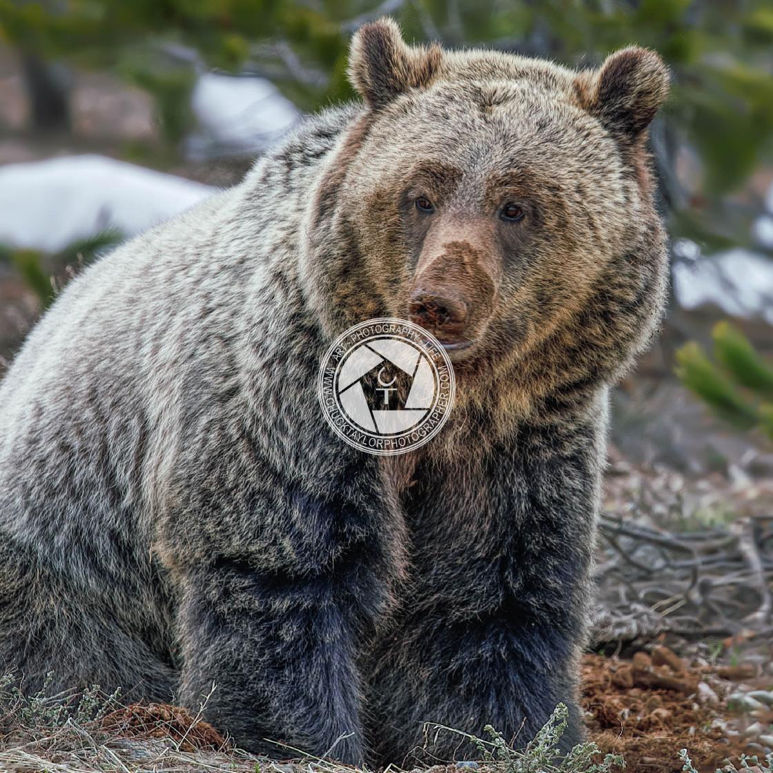 """grand teton national park-grizzly2-jackson Hole-wild-animal"" stock image"