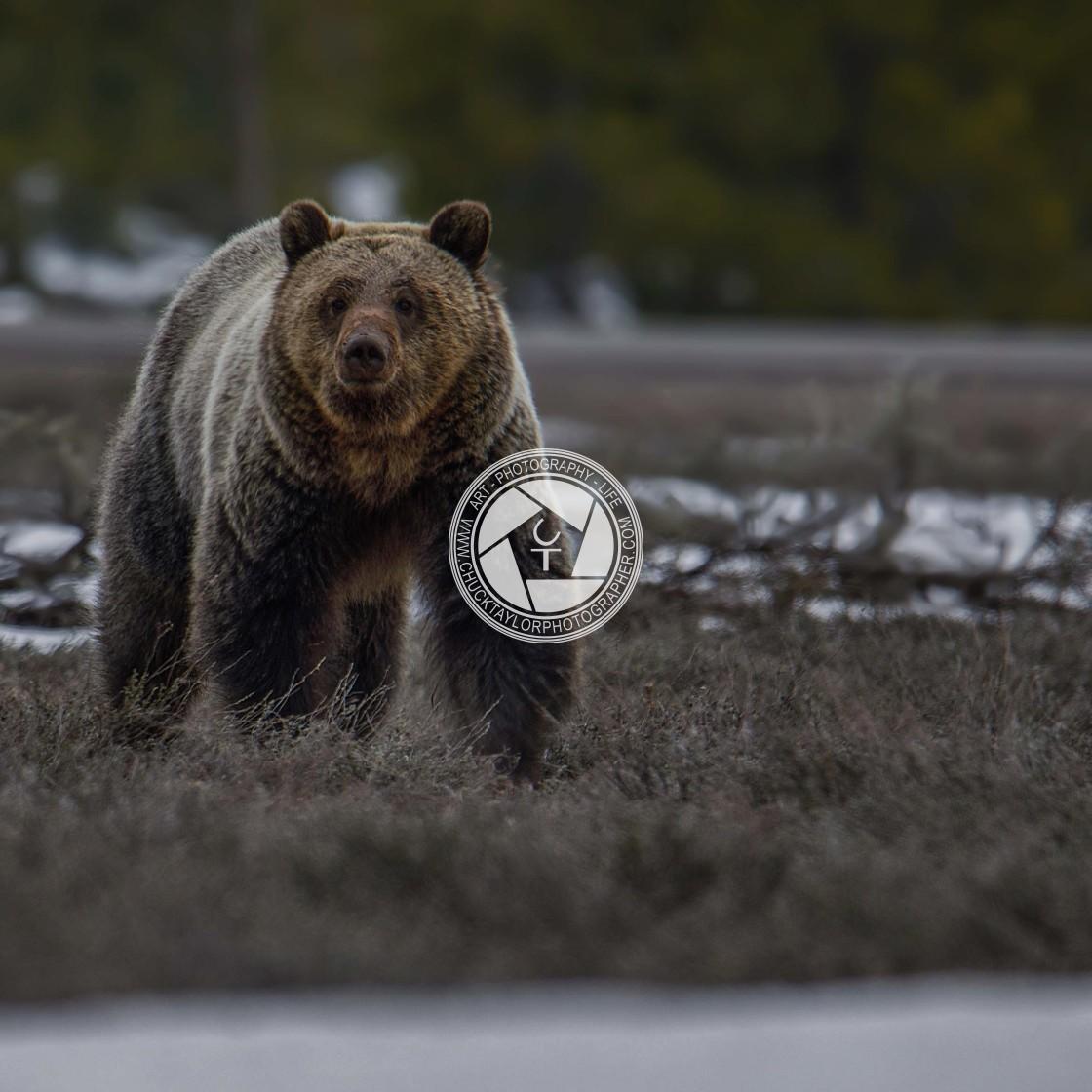 """bear-grizzly-wild-grand teton national park"" stock image"