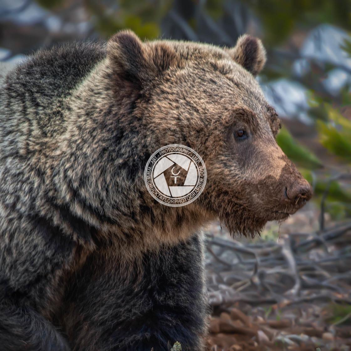 """grizzly-bear-grand teton national park-bonita"" stock image"