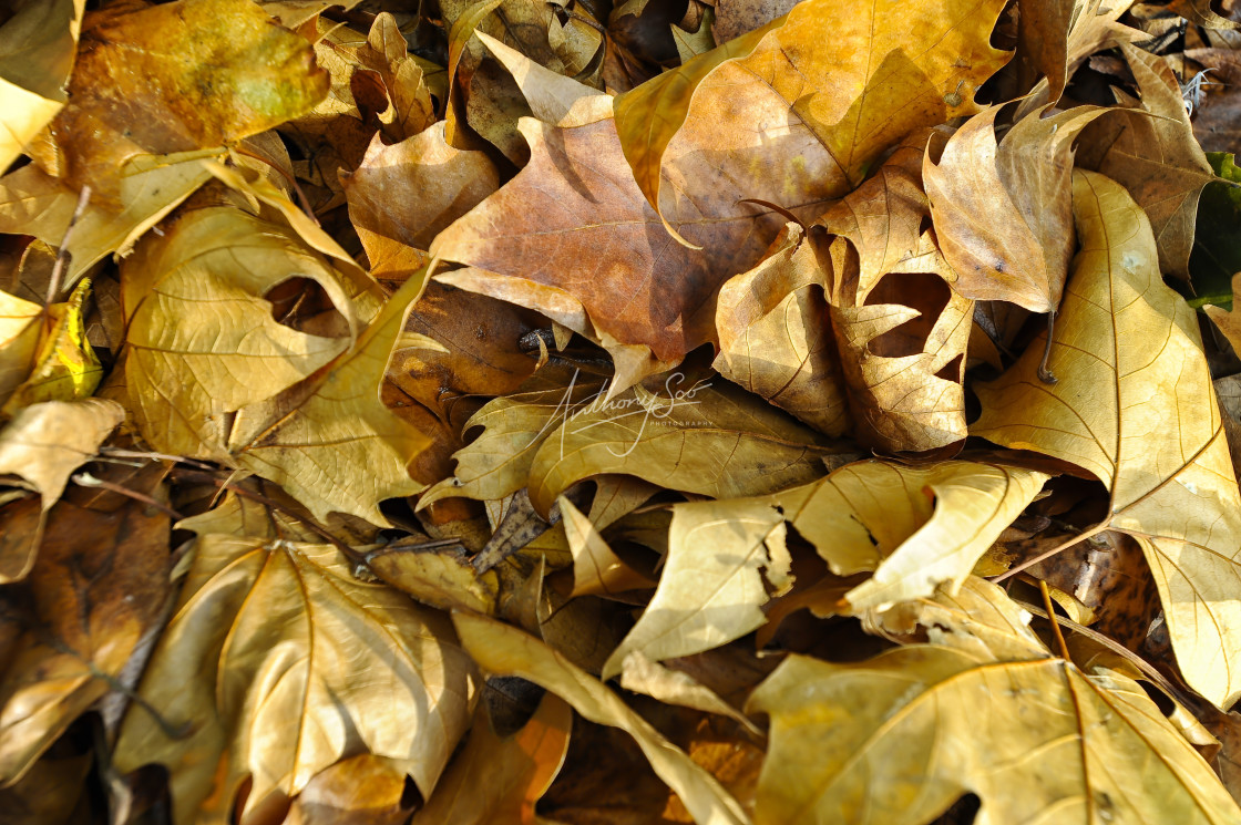 """""""Leaves of Gold"""" stock image"""