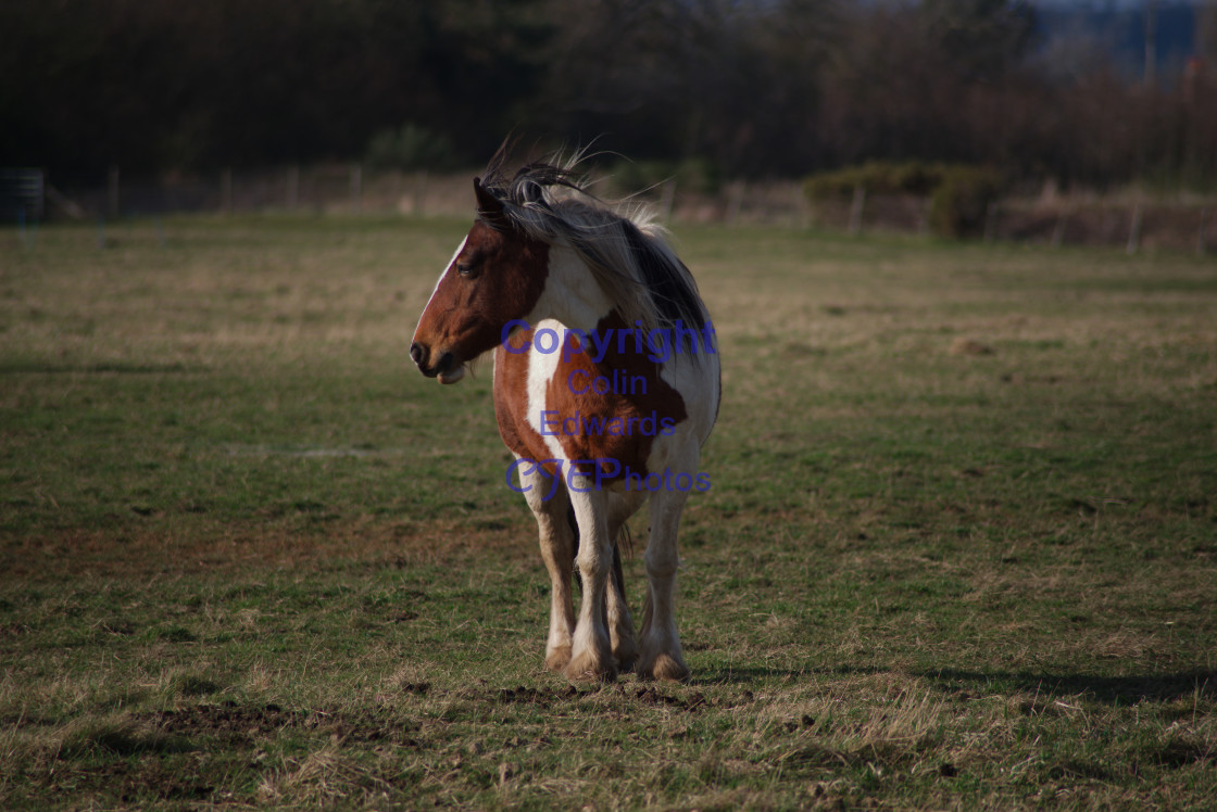 """Horse in field"" stock image"