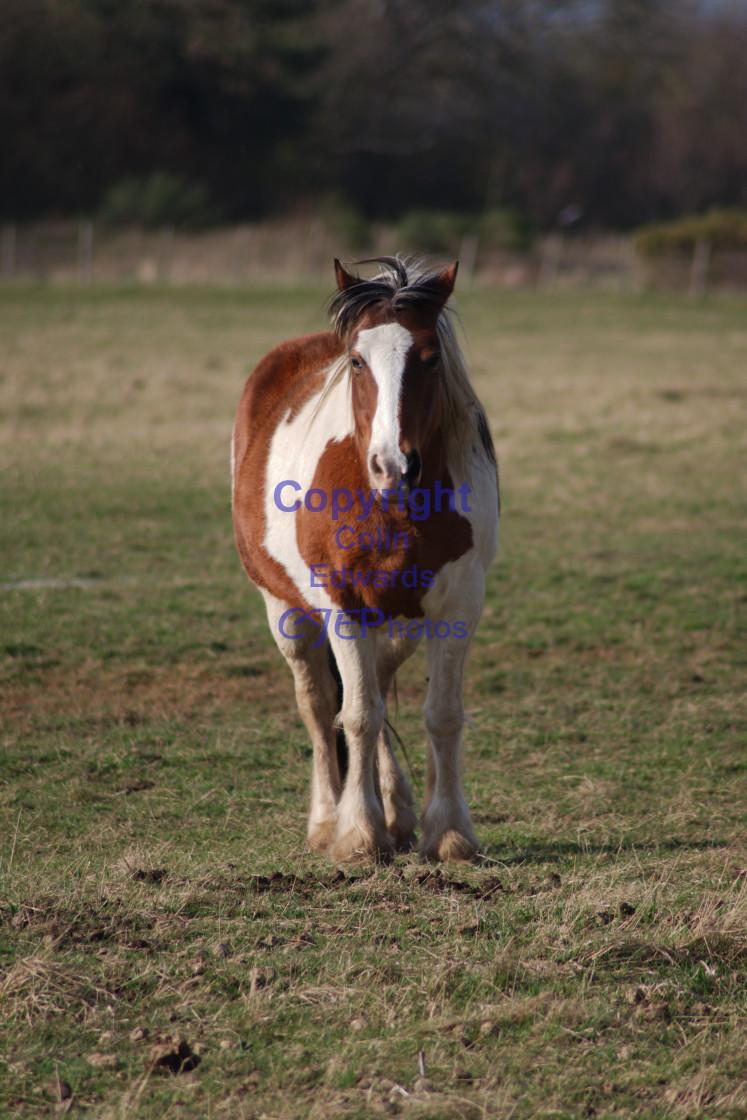 """""""Horse looking at camera"""" stock image"""