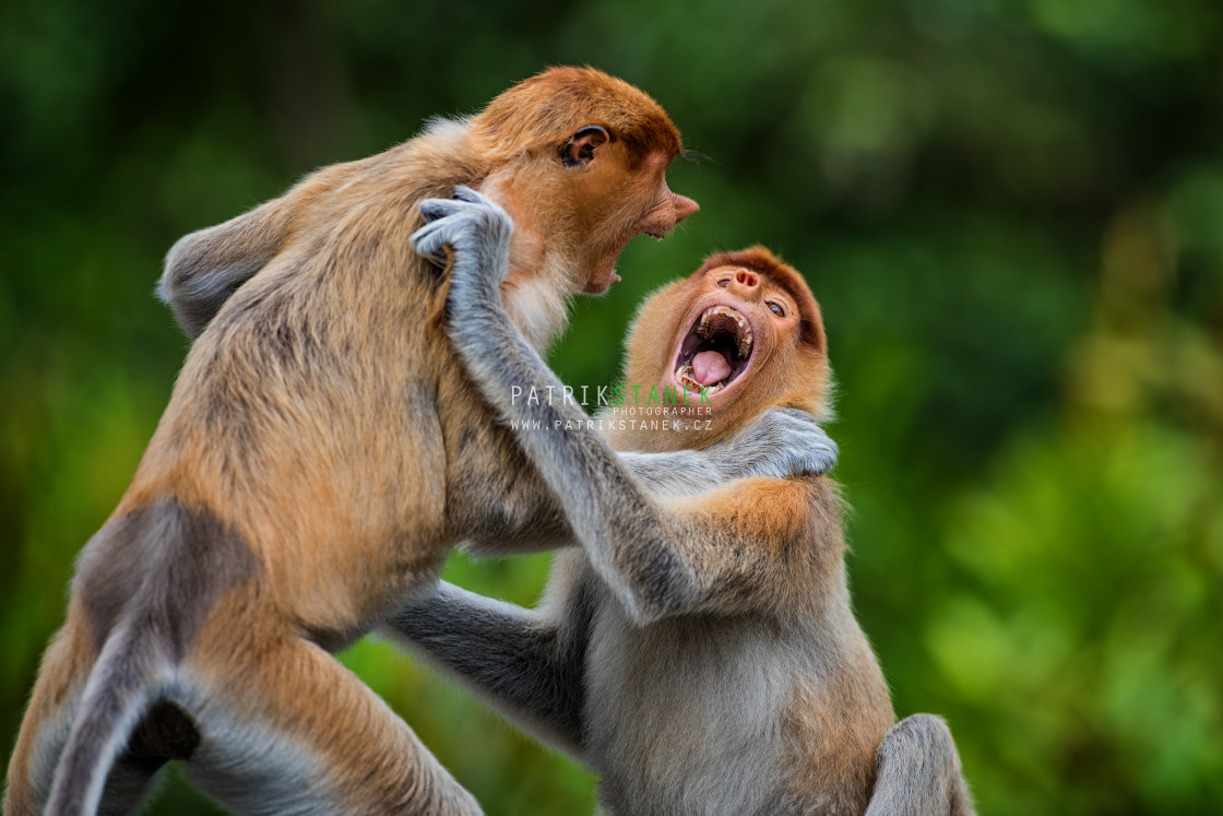 """Proboscis monkeys fighting"" stock image"