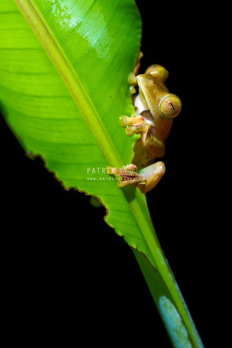 """Harlequin flying frog"" stock image"