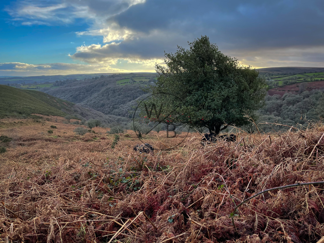 """Moorland tree"" stock image"