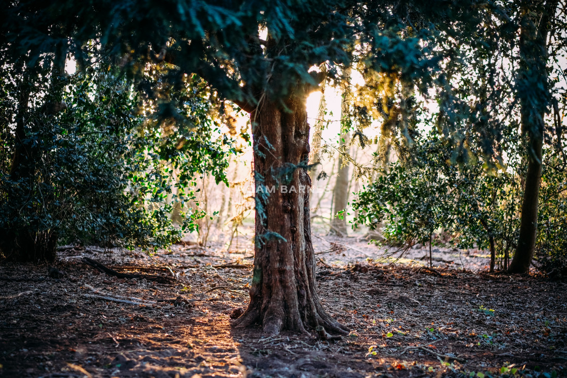 """Tree and sunlight"" stock image"