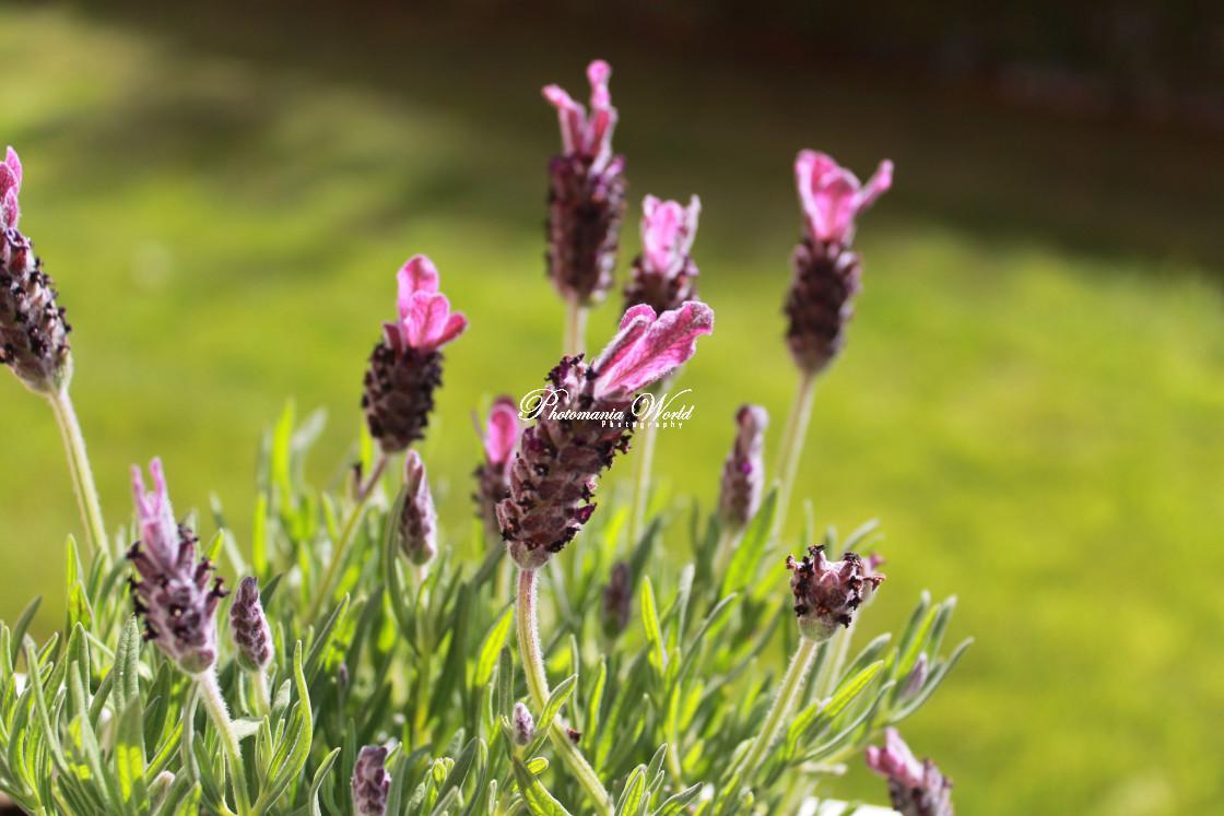 """Lavender Blumming"" stock image"