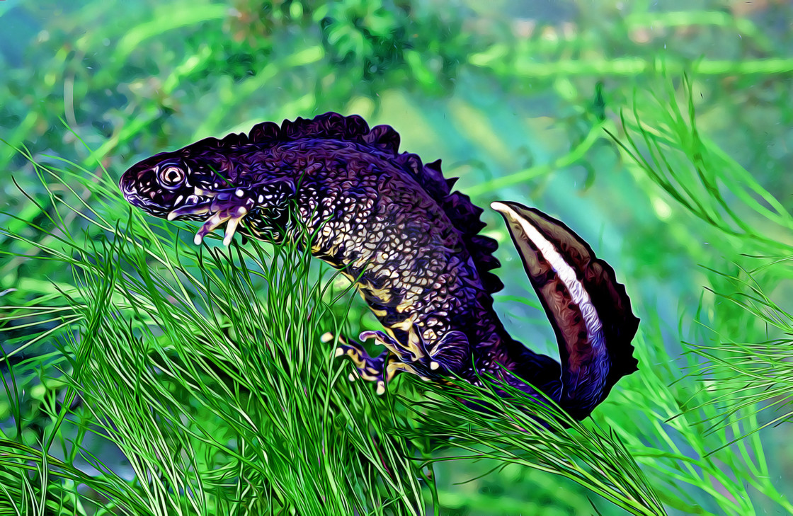 """Great Crested Newt male (Cristatus Cristatus)"" stock image"