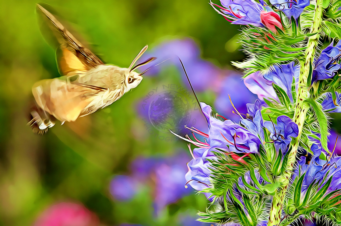 """Hummingbird hawk moth"" stock image"