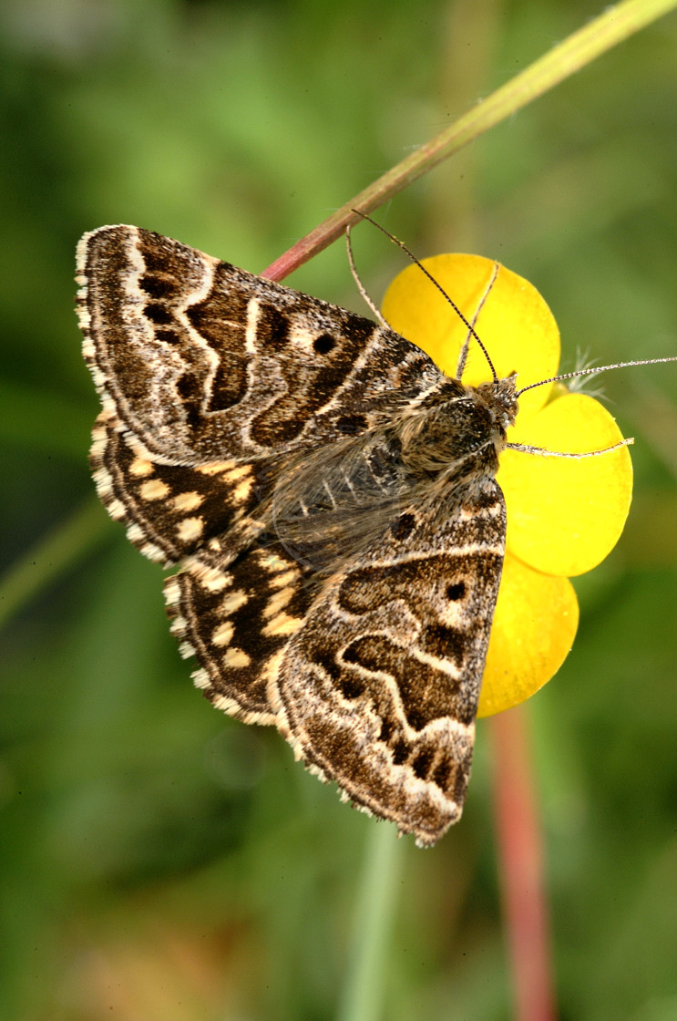 """Mother Shipton Moth"" stock image"