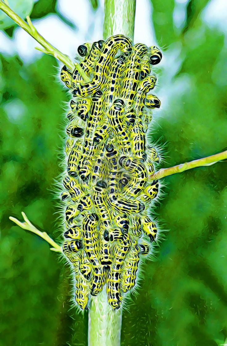 """Buff-tip moth larvae"" stock image"