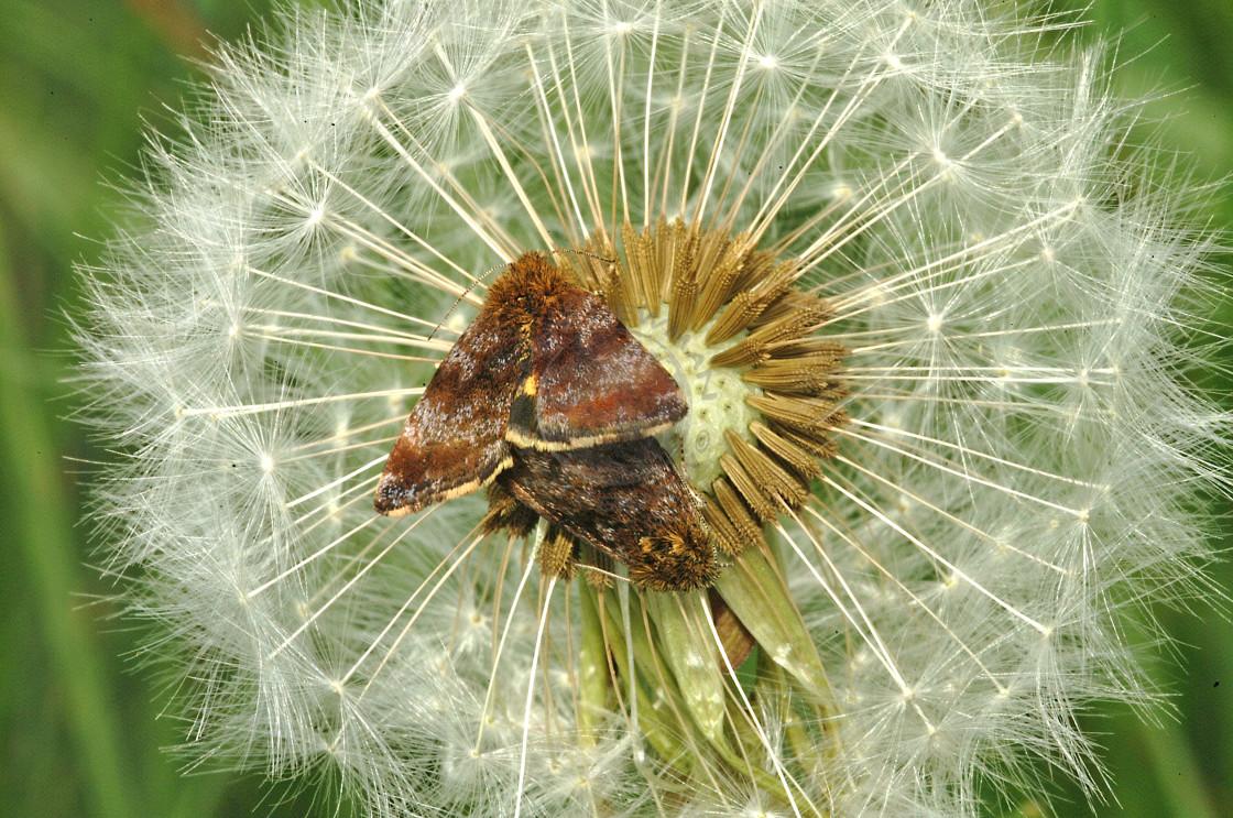 """Small Yellow Underwing Moth"" stock image"