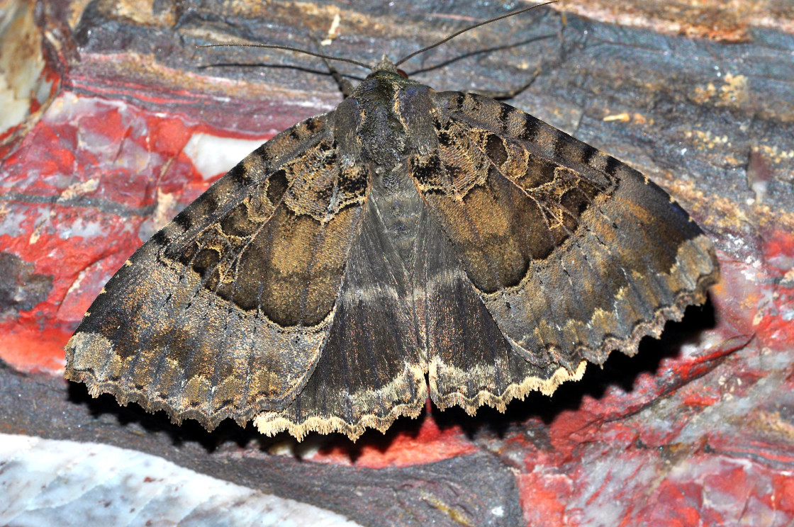 """Old Lady Moth"" stock image"