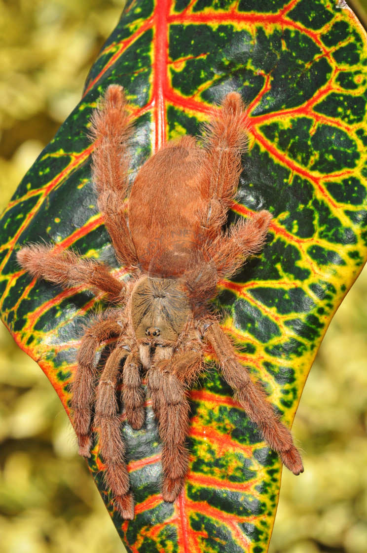 """Orange Tree Spider"" stock image"