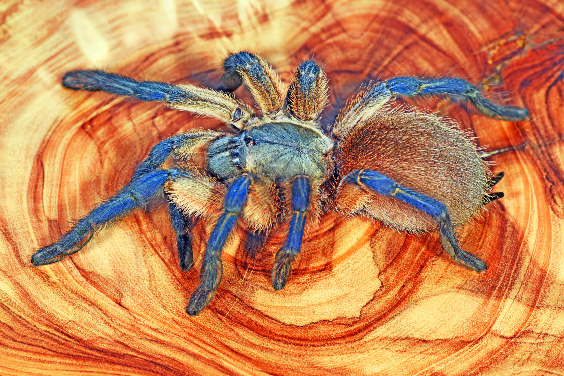 """Socotra Island Blue Baboon Spider"" stock image"