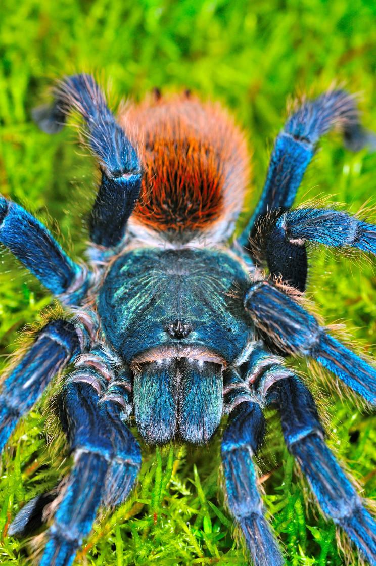 """""""Greenbottle Blue Tarantula"""" stock image"""