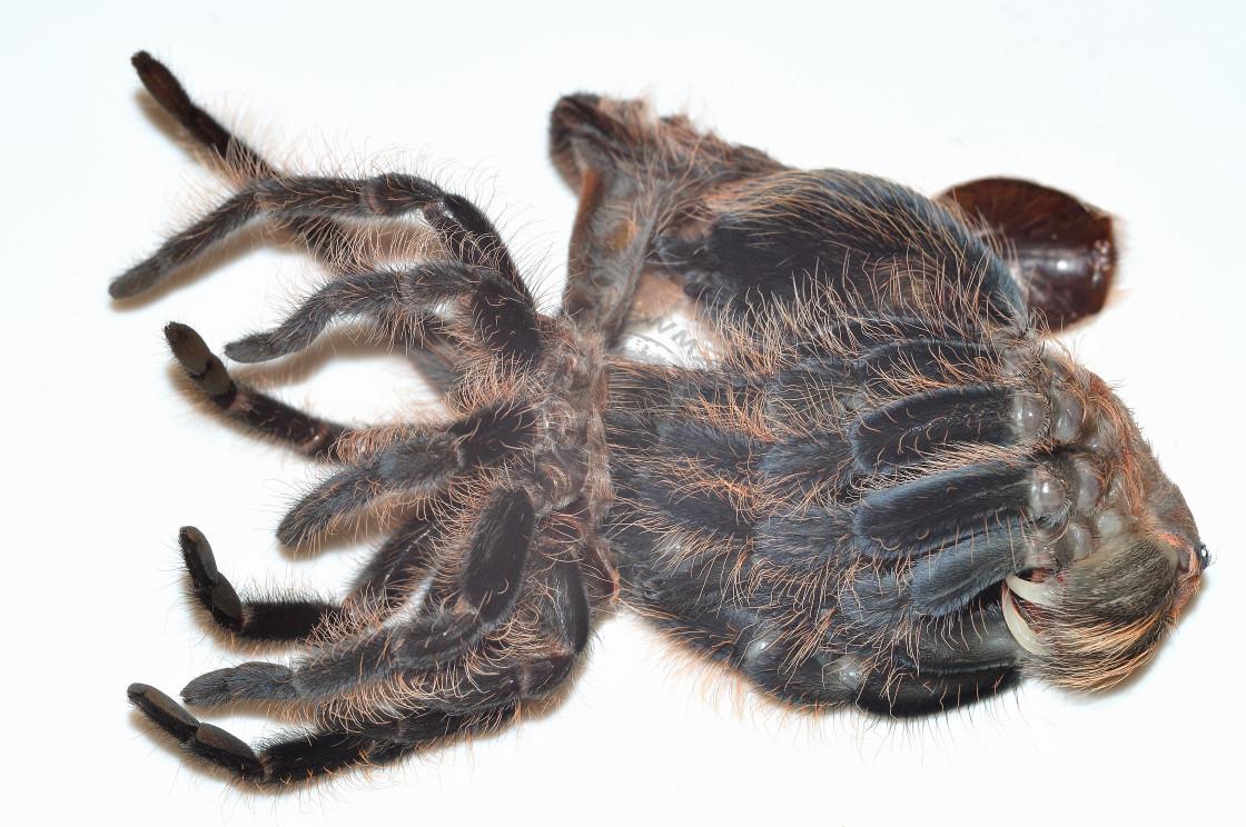 """""""Honduran Curly Hair Tarantula"""" stock image"""
