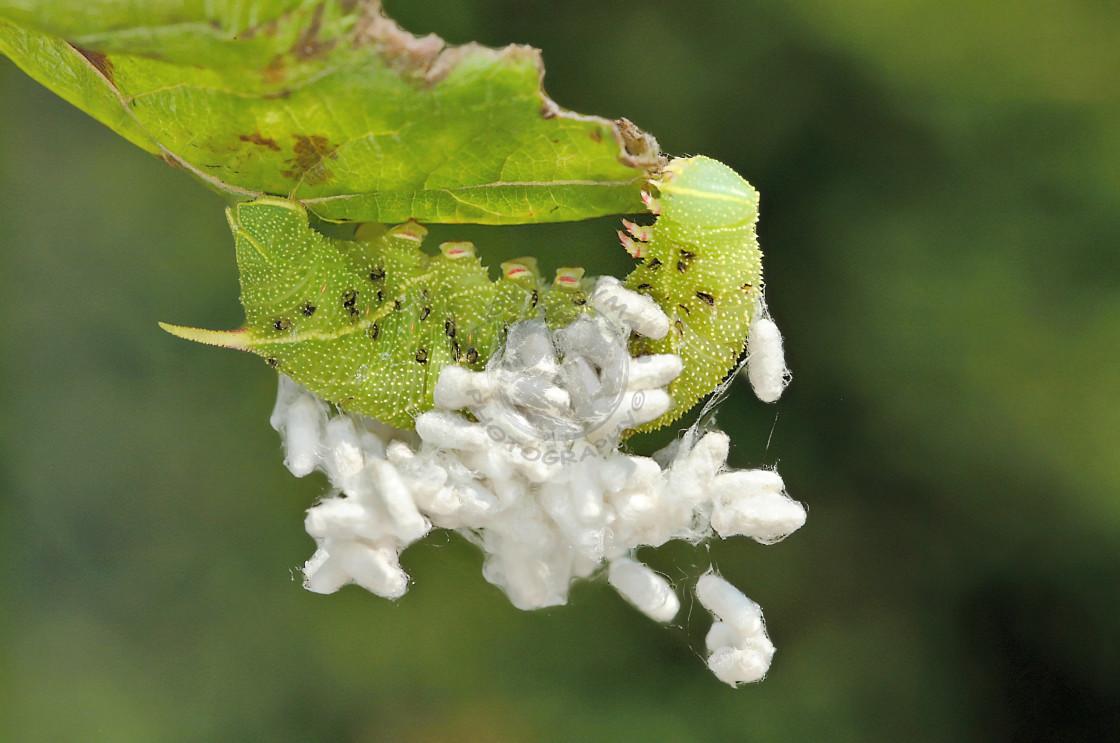 """Poplar Hawk moth and parasites."" stock image"