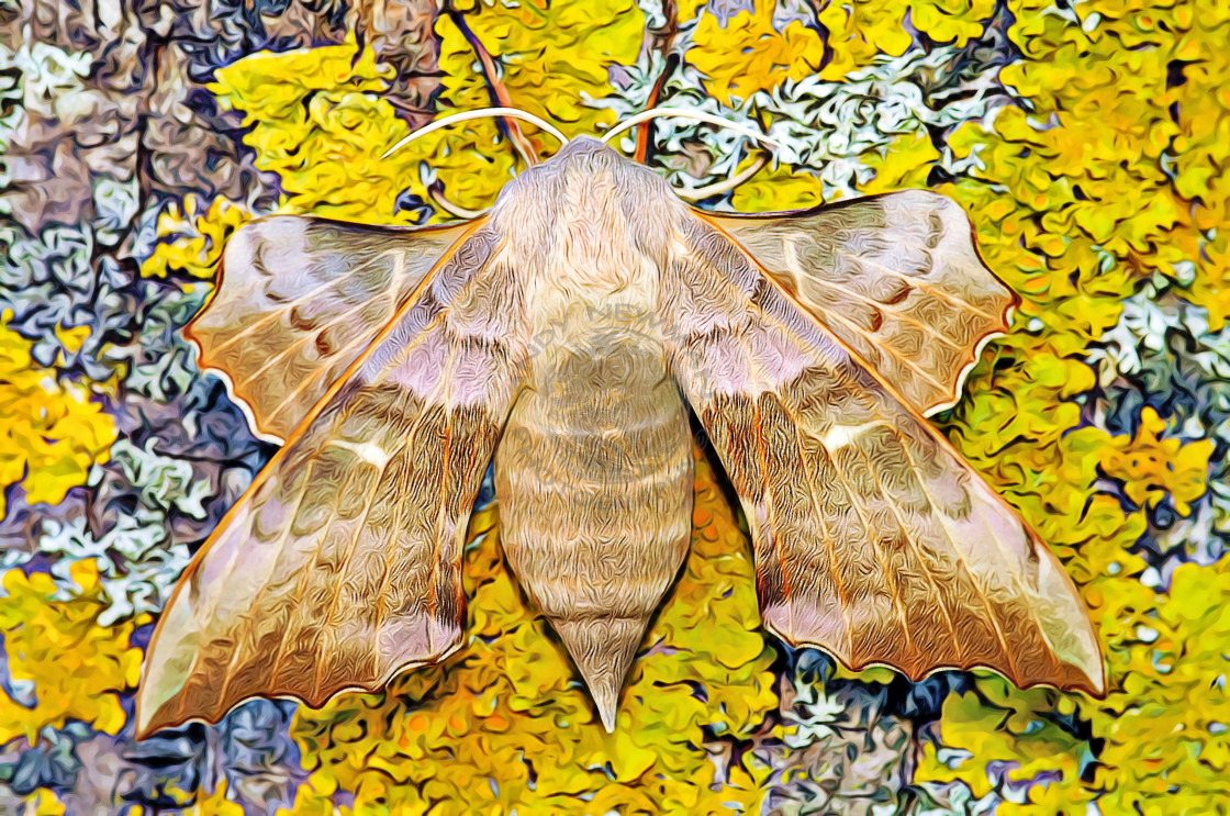 """Poplar Hawk Moth"" stock image"